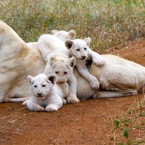 South Africa Honeymoon Packages Elandela Private Game Reserve White Lions