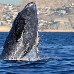 Mexico Honeymoon Packages Secrets Puerto Los Cabos Golf & Spa Resort Humpback Whale Rising