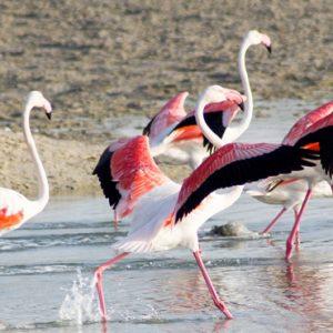 Abu Dubai Honeymoon Packages Jumeirah Al Wathba Flamingos
