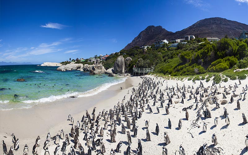Top Romantic Things To Do In Cape Town Blog Penguins On Boulders Beach