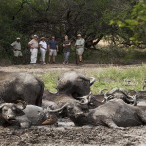 Buffalos Kapama Private Game Reserve South Africa Honeymoons