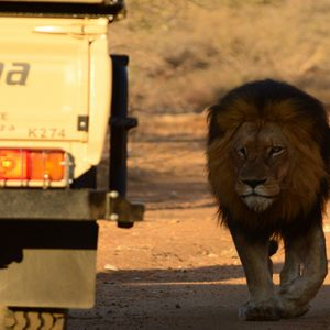 Game Drive Lion Kapama Private Game Reserve South Africa Honeymoons