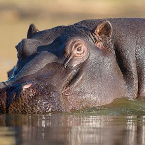 Hippo Kapama Private Game Reserve South Africa Honeymoons