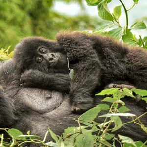 Kenya Honeymoon Packages Little Governors Gorilla Treking