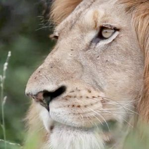 Lion Kapama Private Game Reserve South Africa Honeymoons