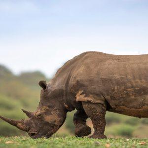 Rhino Kapama Private Game Reserve South Africa Honeymoons