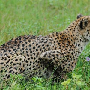 Cheetah Kapama Private Game Reserve South Africa Honeymoons