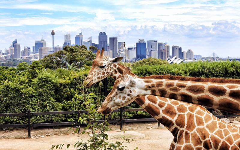 Top Romantic Things To Do In Sydney Taronga Zoo