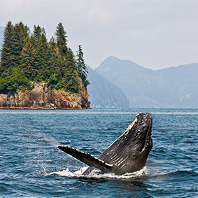 Humpback Whales In Alaska Honeymoon Cruises