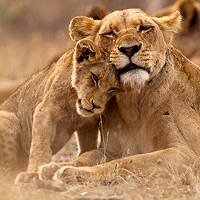 Lion And Her Cub In Africa Honeymoon Cruises