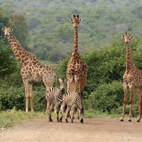 South Africa Safari Honeymoons Safarimoon Packages