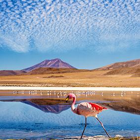Flamingo On Atacama Desert In Chile Adventure Honeymoons